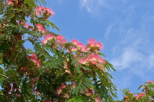 catalpa  tree  flower