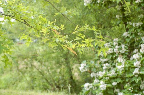 Catalpa And Oak