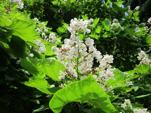 catalpa bignonioides, pietų catalpa, cigaro medis, Indijos pupelių medis, krūmas, medis, flora, botanika, augalas, rūšis, žiedas