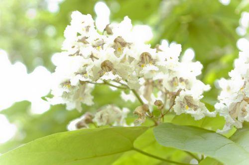 Catalpa Flowers 1