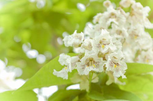 Catalpa Flowers 2