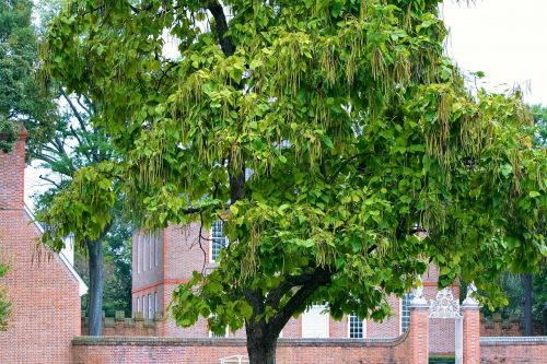 catalpa tree catawaba tree bignoniaceae