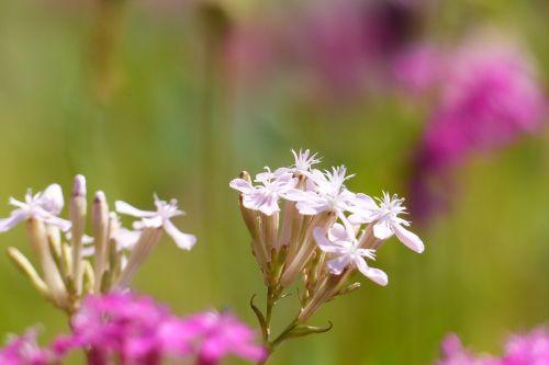 catchfly white flowers