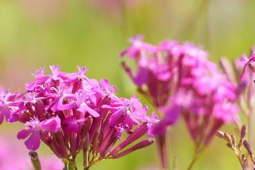 catchfly pink close up