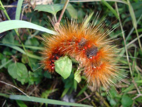 caterpillar larva worm