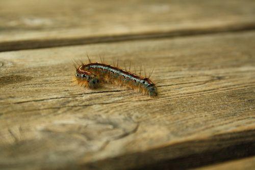 caterpillar hairy caterpillar bug