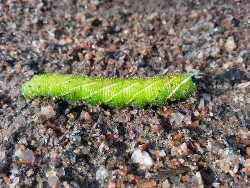 caterpillar butterfly green