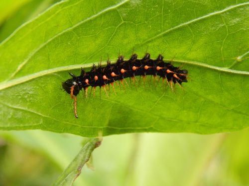 caterpillar black nature