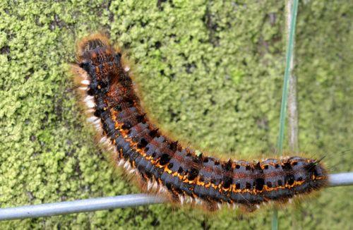 caterpillar butterfly caterpillar grass cluck caterpillar