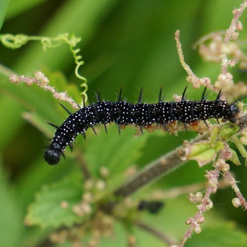 caterpillar black thorny