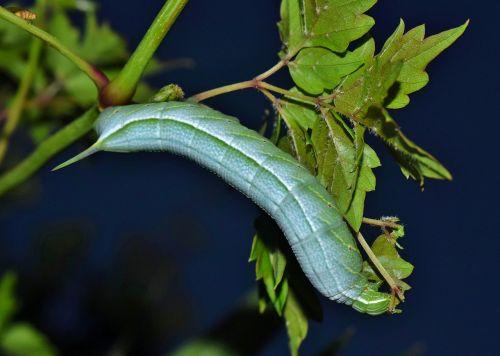 caterpillar larvae banded sphinx moth caterpillar