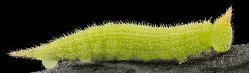 caterpillar greenescent larva