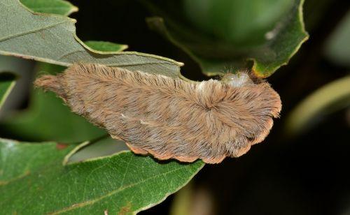caterpillar puss caterpillar flannel moth caterpillar