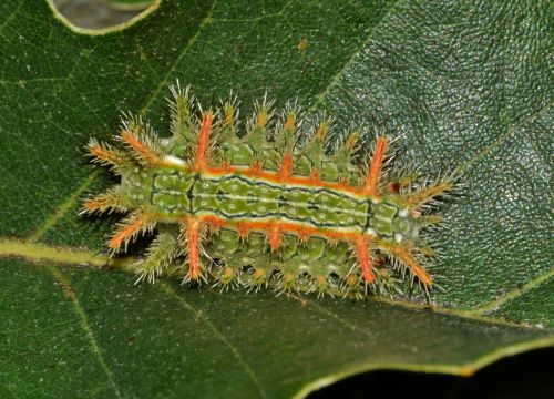 caterpillar slug caterpillar spiny oak slug caterpillar