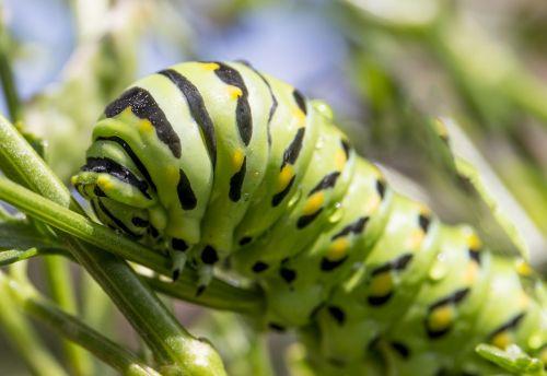 caterpillar bug green