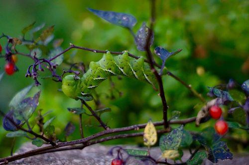 caterpillar bug berries