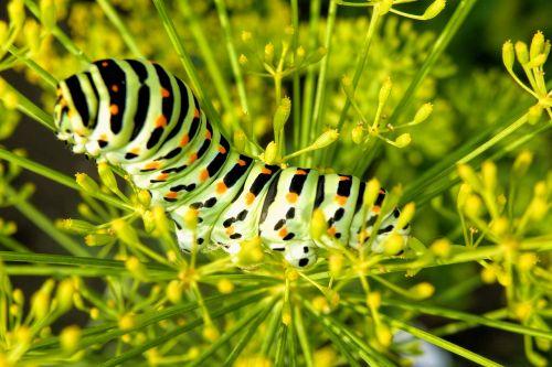 caterpillar butterfly caterpillar swallowtail caterpillar