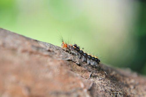 caterpillar leaf pest