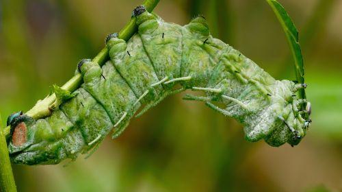 caterpillar atlas moth caterpillar exotic
