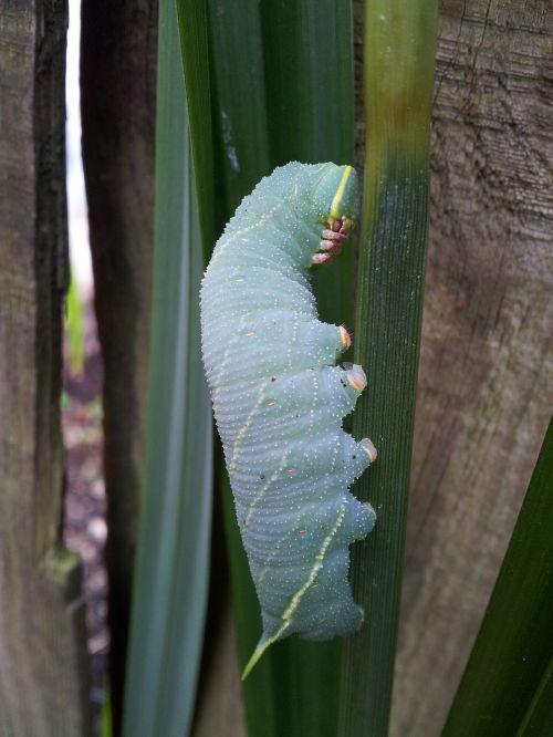caterpillar nature insect