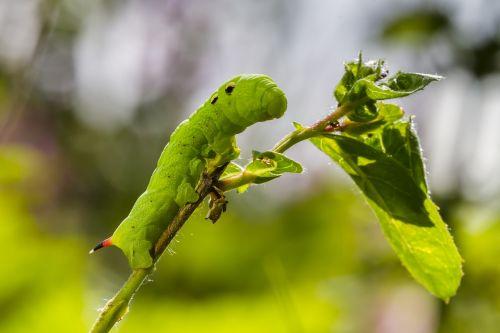 caterpillar medium wine enthusiast green caterpillar