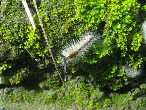 caterpillar feather hump