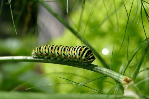 caterpillar swallowtail caterpillar butterfly caterpillar