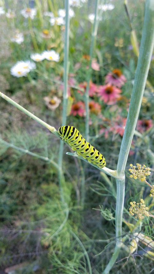 caterpillar black swallowtail butterfly