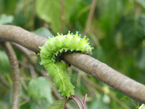 caterpillar wiener nachtpfauenauge insect