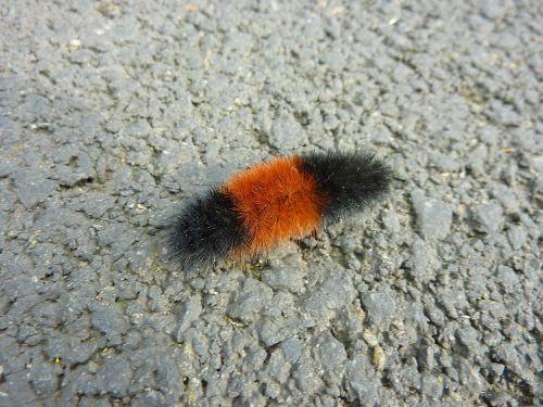 caterpillar insect bug