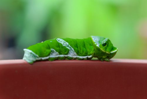 caterpillar green animal