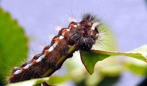 vikšras,makro,drugelis,datailaufnahme,padaras,gamta,makrofotografija,gyvūnų pasaulis