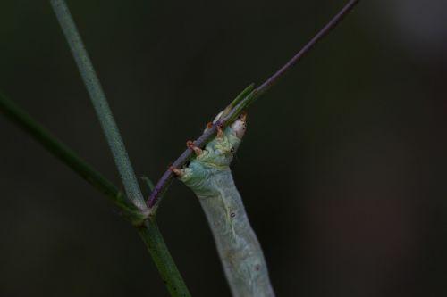 caterpillar strange insecta
