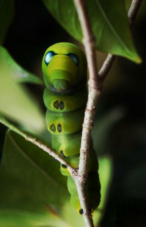 caterpillar moth green