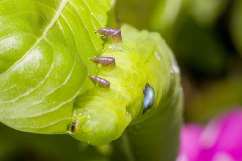 caterpillar macro worms