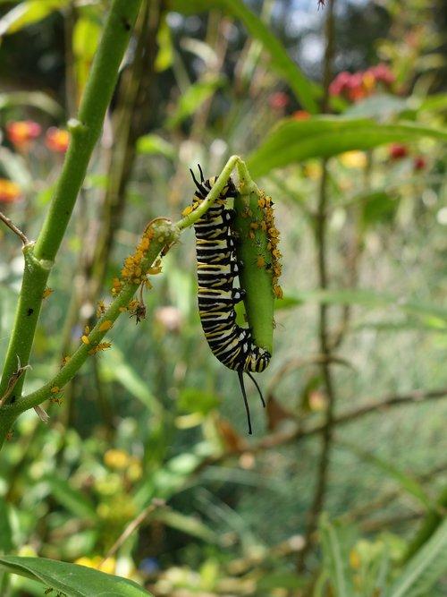 caterpillar  monarch  garden