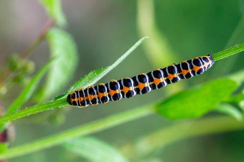 caterpillar  cos-monk  cucullia lactucae