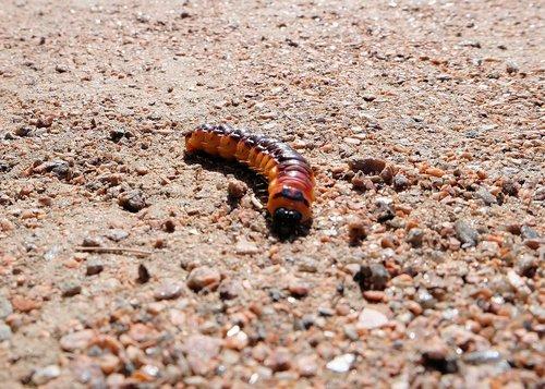 caterpillar  medvedka  insect