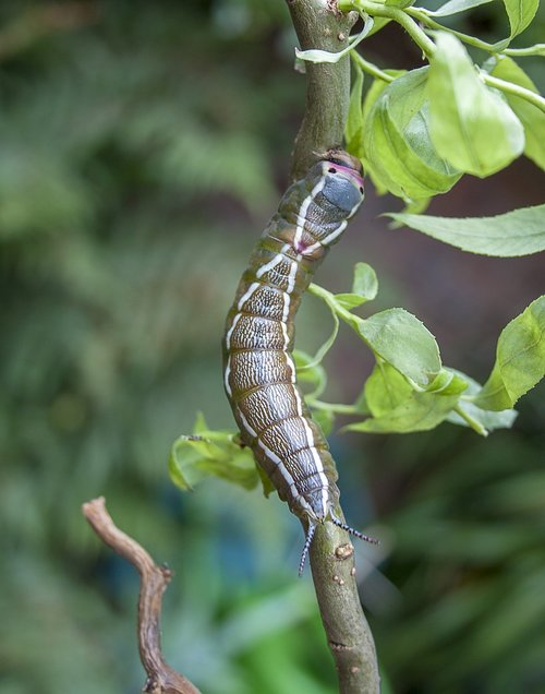 caterpillar  puss moth  entomology