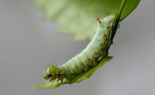 caterpillar  larva  moth