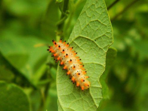 caterpillar foliage nature