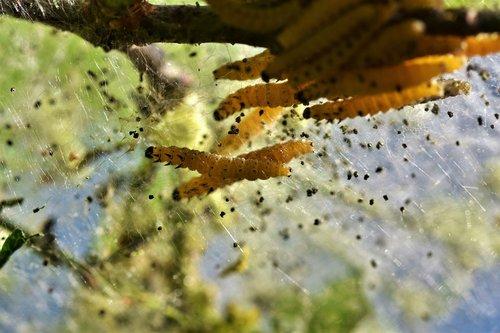 caterpillar  larva  galleriinae
