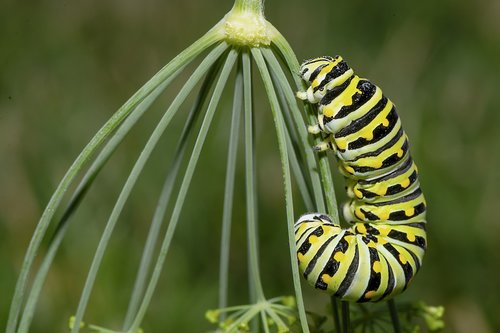 caterpillar  insect  larva