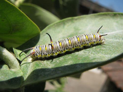 caterpillar larva insect