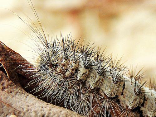caterpillar hairy macro