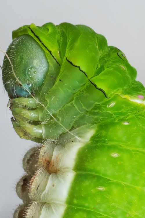 caterpillar macro nature