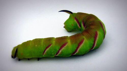 caterpillar animal thick caterpillar