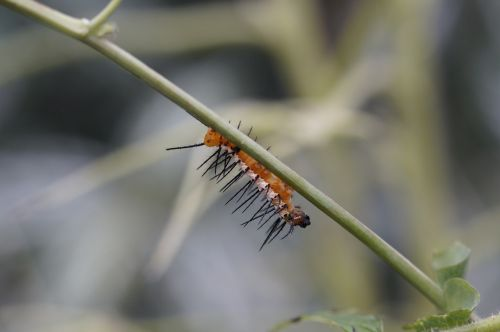 caterpillar butterfly caterpillar hairy