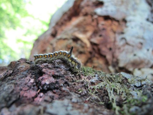caterpillar grass hen philudoria potatoria