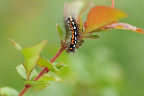 caterpillar butterfly caterpillar nature